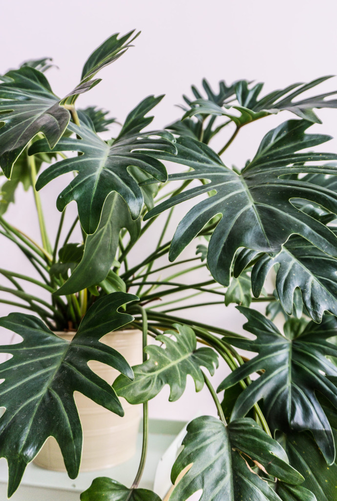 Close-up-of-philodendron-xanadu